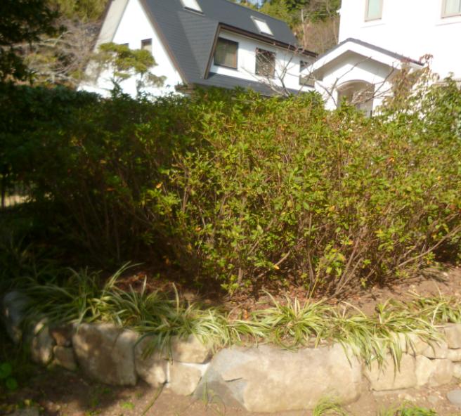 中にはヒラドツツジの群集があえて1色にて炎のように花が咲きます!